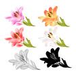 stem lily flowers red yellow white pink outline vector image
