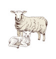 hand drawn sheep and lamb vector image vector image
