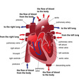 heart section vector image vector image