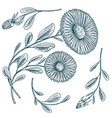 herb medicinal chamomile or daisy wheel with vector image vector image
