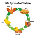 diagram showing life cycle chicken vector image vector image