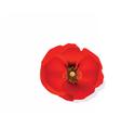 Red Romantic poppy flower vector image