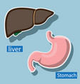 human liver and stomach are anatomical image vector image vector image