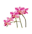 orchid twig with bright pink flowers vector image vector image