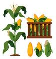 set of organic corn vector image