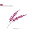 purple calluna vulgaris the native flower of norw vector image vector image