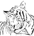 Tiger scetch hand drawn on background vector image