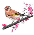 goldfinch on the branch of blooming cherry blossom vector image vector image
