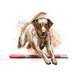labrador retriever jumping in a training of vector image