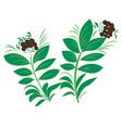 ravintsara plant vector image vector image