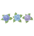 blue purple sapphirine flower hydrangea vector image