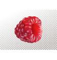 ripe realistic raspberry on vector image