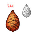 salak or snake fruit of indonesian palm sketch vector image vector image