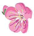 apple blossom vector image