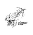 amaryllis flower hand drawn vector image vector image