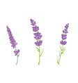 lavender flowers set vector image