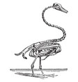 skeleton of the swan vintage vector image vector image