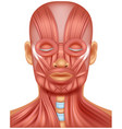 human head muscle on white vector image vector image