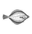 ink sketch of flounder vector image vector image
