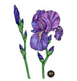 iris flower on white background vector image vector image