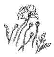 poppies black and white line art drawing vector image