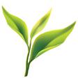tea leaves vector image vector image