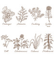 colored set of medicinal plants in hand drawn vector image