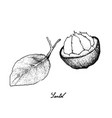 hand drawn of sweet ripe santol fruit on white bac vector image vector image
