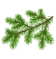 Pine tree branch Green fluffy pine branch vector image vector image
