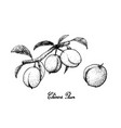 hand drawn of chinese plums on white background vector image vector image