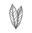 bay leaves ink sketch vector image vector image