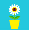ladybird ladybug insect sitting on white daisy vector image vector image