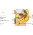 Reproductive system of men poster vector image