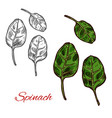 spinach vegetable sketch with fresh green leaf vector image vector image