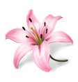 pink lily flower isolated on white background vector image