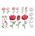 set of floral elements red pink white roses vector image