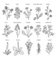herbs collection medical healthy flowers and vector image vector image