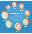 pregnancy fetal growth stage development vector image