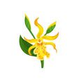 blooming canna lily with yellow petals and green vector image vector image