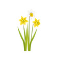 daffodil narcissus bulbous eurasian plant flowers vector image vector image