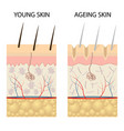 young healthy skin and older skin comparison vector image vector image