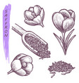 sketch saffron herbs and spices seasoning plant vector image