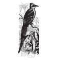 brazilian motmot vintage vector image vector image
