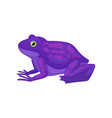 bright purple frog with spots on back amphibian vector image vector image