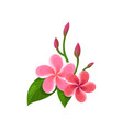 icon of frangipani plumeria tropical flowers vector image