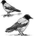 two crows vector image vector image
