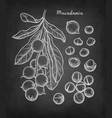 chalk sketch of macadamia vector image