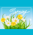 spring daisies and dandelions background fresh vector image vector image