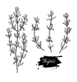 Thyme drawing set Isolated thyme plant and vector image vector image