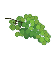 Green wine grape flat on white background vector image